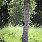 Acorn woodpecker by Lynn Starner