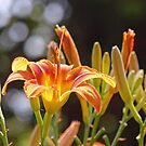 Lilies in the Sunshine by Susan S. Kline