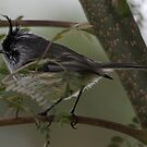Tufted Tit-Tyrant by Dennis Cheeseman