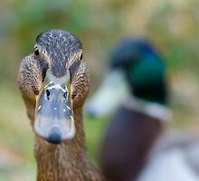 Mallard ducks by thommoore