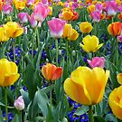 Bright tulips by shalisa