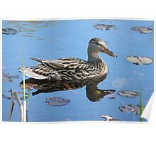 Female Mallard Duck reflection Poster