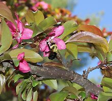 Huge Bumble Bee on a Crabapple blossom by joycemlheureux
