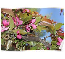 Huge Bumble Bee on a Crabapple blossom Poster