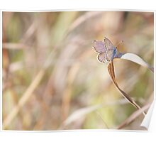 Torn Wing resting on Dried Grass Poster