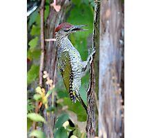 Picus viridis Photographic Print