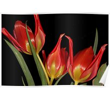 Tulipa agenensis  Poster