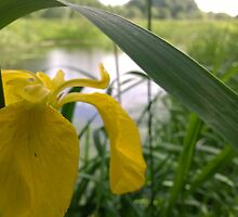 Yellow flower over river  by Connor Bartlett