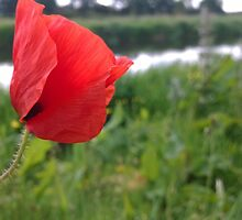 Poppy red over river by Connor Bartlett