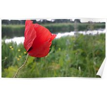 Poppy red over river Poster