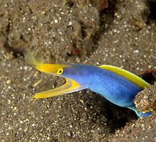 Blue-ribbon Eel - Rhinomuraena quaesita by Andrew Trevor-Jones