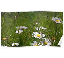 Daisies on river in norfolk Poster