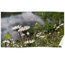 daisies over river in norfolk Poster