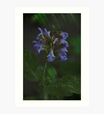 Flowering Sage Art Print
