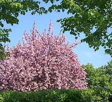 Cherry Tree by Aase