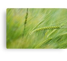 Wheat in the summer sun Canvas Print