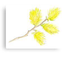 Yellow willow catkins watercolor Canvas Print