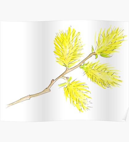 Yellow willow catkins watercolor Poster