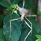 Giant Stick insect ( ? Sp ) - Atherton Tableland by john  Lenagan