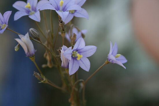 Purple Wildflower from the Free State, South Africa by Dawid Groenenstein