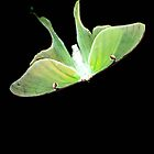 Luna Moth by Briana McNair