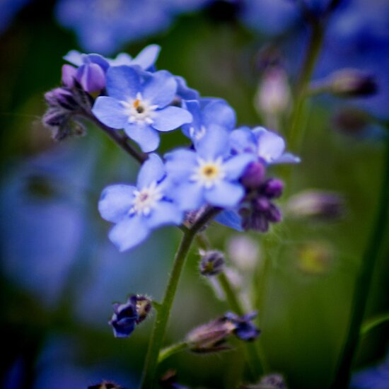 Wood Forget Me Not by Colin Metcalf