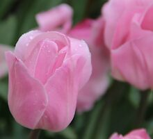 Pink Tulip in the Rain by JP-Photos