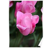 Pretty Pink Tulips Poster