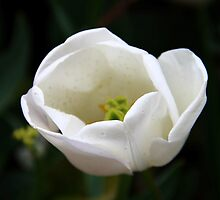 White Tulip by JP-Photos