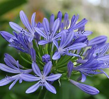 Blue Agapanthus Flowers by JP-Photos