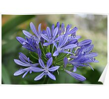 Blue Agapanthus Flowers Poster