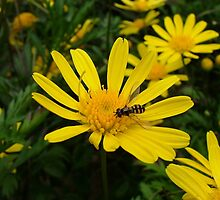 Yellow Daisies by JP-Photos