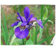Blue Flag - Wild Iris Poster