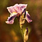 Vintage Iris by Jessica Jenney