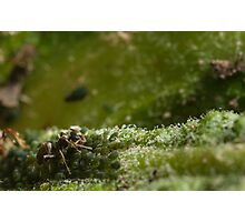 ant checking on his aphid herd Photographic Print