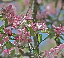Pink Crabapple 9 by Carolyn Clark