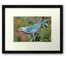 Blue Tanager Framed Print