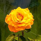Golden Rose - Howard Florey by DPalmer