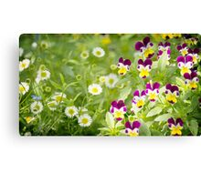 Daisies mixed with pansies Canvas Print