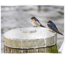 Welcome Swallows Poster