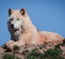 Arctic wolf by alan tunnicliffe
