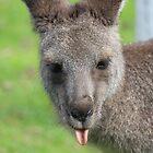 Kangaroo giving a raspberry - Halls Gap by Andrew Dodds