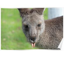 Kangaroo giving a raspberry - Halls Gap Poster