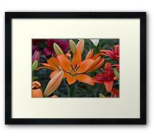 Orange Lilly at the RHS Chelsea Flower Show Framed Print