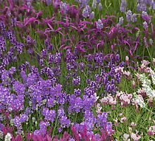 Lavendar at the RHS Chelsea Flower Show by Keith Larby