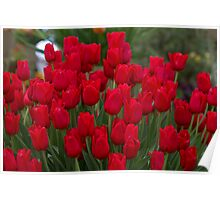 Red tulips at the RHS Chelsea Flower Show Poster