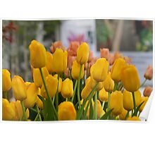Yellow tulips at the RHS Chelsea Flower Show Poster
