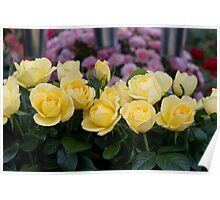 Yellow roses at RHS Chelsea Flower Show Poster