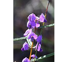 Hovea with Drops Photographic Print