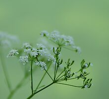 WILD BEAUTY by PIMPINELLA